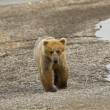 Stock Photo: Se_000005057Brown Bear walking along Naknek Lake in Katmai National Park