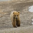 Se_000005057Brown Bear walking along Naknek Lake in Katmai National Park — Stock Photo