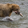 Brown Bear with a fresh catch of salmon in Katmai National Park in Alaska — Stock Photo