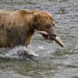 Stock Photo: Brown Bear with fresh catch of salmon in Katmai National Park in Alaska