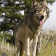 An American Gray Wolf pauses to wait for the rest of his pack — Stock Photo