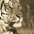 Siberian Tiger Portrait (sepia tone) - Stock Photo