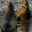 Male Elephant Seals fighting on Piedras Blancas Beach in San Simeon - Stock Photo
