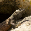 A Male Common Chuckwalla defending his territrory in Joshua Tree National Park — Stok fotoğraf