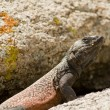 A Male Common Chuckwalla defending his territrory in Joshua Tree National Park — Stock Photo