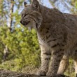 Adult Bobcat looks out for prey - Stock Photo