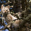 Young Bobcat kitten stays put in a tree - Stock Photo
