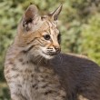 Stock Photo: Young Bobcat sits on rocky ledge