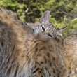 Stock Photo: Kitten Bobcat nuzzles up with his mom for attention