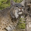 Stock Photo: Adult Bobcat sits on rocky ledge during heat of summer