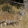 Stock Photo: Adult Bobcat walks through woodlands