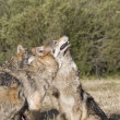 A Gray Wolf pack spends time playing together — Stock Photo
