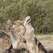 Stock Photo: A Gray Wolf pack spends time playing together
