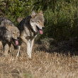 Two Gray Wolfs running together in a meadow — Stock Photo