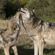 Stock Photo: Young Gray Wolf diplays affection for the older adult wolf in the pack