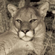 Close up Expression of a Mountain Lion at Rest (sepia) - Stock Photo