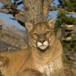 Close up Expression of a Mountain Lion at Rest — Stock Photo