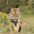 A Siberian Tiger Walking in a Forested Meadow - Stock Photo
