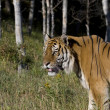 A Siberian Tiger Senses Something Nearby - Stock Photo
