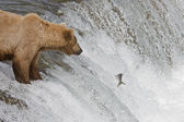 Brown Bear and her cub catching salmon in Katmai National Park, Alaska — Stock Photo