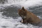 Urso com sua captura de salmão no parque nacional katmai alaska — Foto Stock