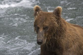 Male Brown Bear fishing for salmon in Katmai National Park in Alaska — Stock Photo