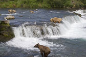 Orsi grizzly pesca del salmone in katmai national park in alaska — Foto Stock
