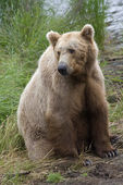 Brown Bear in Katmai National Park in Alaska — Stock Photo