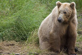 Brown Bear in Katmai National Park in Alaska. — Stock Photo