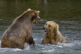 Se_000005034Grizzly Bears fighting over fishing territory in Katmai National Park in Alaska — Stock Photo