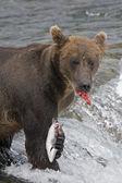 Se_000005045alaskan бурый медведь с новым поймать лосося в национальном парке katmai — Стоковое фото