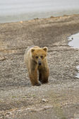 Se_000005057Brown Bear walking along Naknek Lake in Katmai National Park — Stok fotoğraf