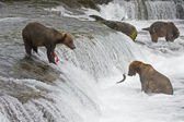 Grizzly beren vissen in katmai national park in alaska — Stockfoto