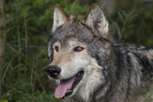 Close Up of a Gray Wolf in the woodlands — Stock Photo