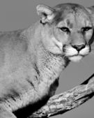 A cougar sitting in a tree (black & white) — Stock Photo