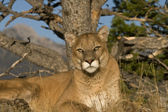 A Cougar Sits Under a Tree For a Rest — Stock Photo
