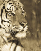 Siberian Tiger Portrait (sepia tone) — Stock Photo