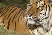 A Siberian Tiger Close Up Portrait — Stock Photo