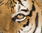 A Siberian Tiger Close Up of the Eye — Stock Photo