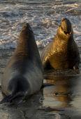 Manliga elefantsälar striderna på piedras blancas strand i san simeon — Stockfoto