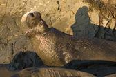 Male Elephant Seal on Piedras Blancas Beach in San Simeon — Stockfoto