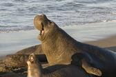 Elefantes marinhos acasalamento em piedras blancas praia em san simeon — Fotografia Stock