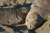 Elephant Seal Mom and her pup on Piedras Blancas Beach in San Simeon — Stock Photo