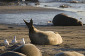 Female Elephant Seal giving birth on Piedras Blancas Beach in San Simeon — Stock Photo