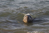Male Elephant Seal swimming near Piedras Blancas Beach in San Simeon — Stock Photo