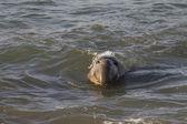 Elefante marino macho nadando cerca de piedras blancas de la playa en san simeon — Foto de Stock