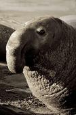Se_000005562Male Elephant Seal on Piedras Blancas Beach in San Simeon — Stock Photo