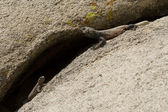A male Common Chuckwalla courting a female in Joshua Tree National Park — Stock Photo
