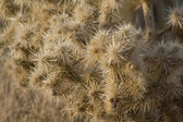The Golden Cholla Catus (up close and personal) — Stock Photo