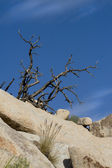 Угрюмый сцена голубых небес и пород Дерево Джошуа Национальный парк — Стоковое фото